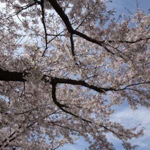 春ですね🌸